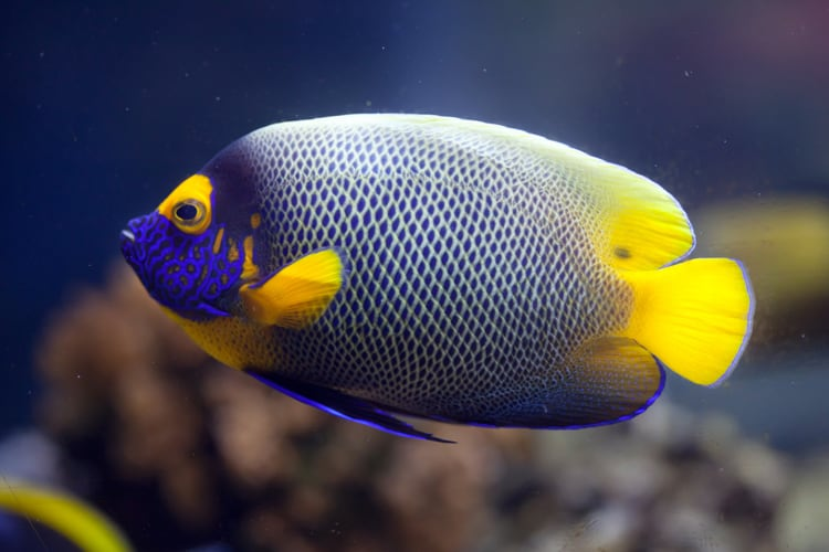 Blueface Angel Fish