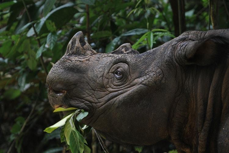 Sumatranoshörning